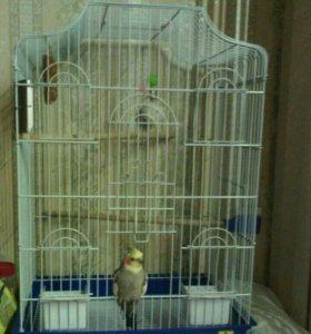 Продам попугая корелла вместе с клеткой.