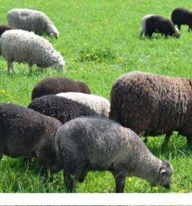 Овцы, баран, ягнята.