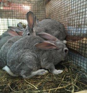 Кролики - Советская шиншилла