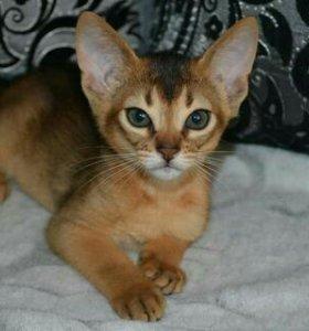 Продам абиссинских котят.