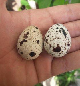 Яйцо перепилиное