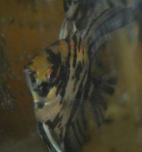 Мраморный скалярик