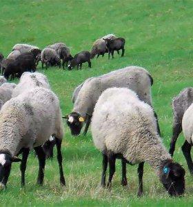 Баранина,овцы романовские,утки,гуси,бройлеры