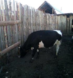 нетель стельная от хорошей коровы