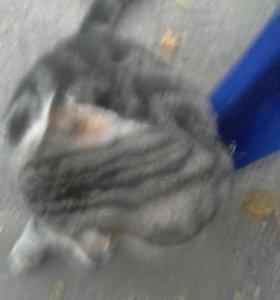 Кошка шатланка вислоухая