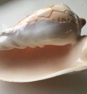 Морская ракушка большая