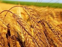 Пшеница,ячмень