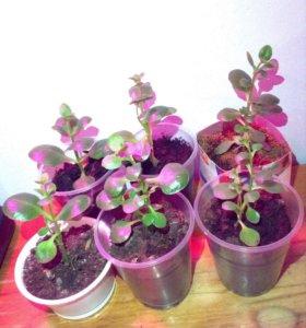 Деточки каланхоэ - растения комнатные