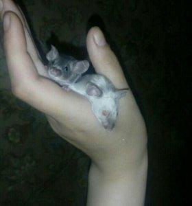 Декоротивные мышки в добрые руки