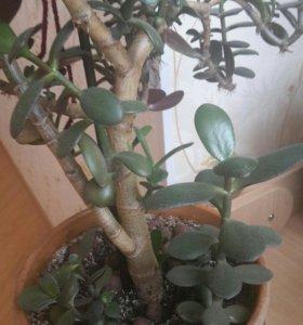 Денежное дерево толстянка