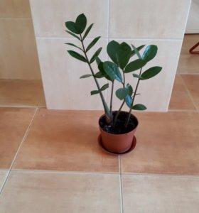 Замиокулкас долларовое дерево