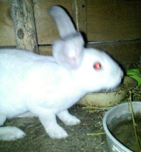 Кролик рекси