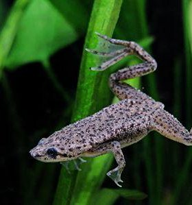Лягушка гименохирус карликовая