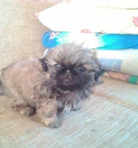 Продаётся щенок пекинеса