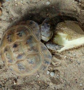 Черепаха степная