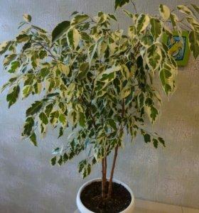 Комнотное растение
