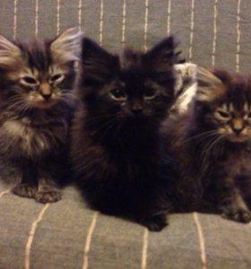Котята (с сибирскими корнями) 2 месяца.