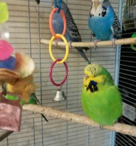 Выставочный волнистый попугай (самочки )