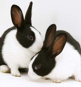кролик прирученный