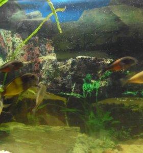 Трофеусы аквариумные умники