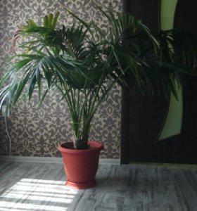 Пальма комнатная. Хризалидокарпус