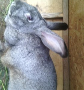 Крол-серый великан 6 месяцев