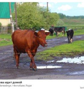 2 коровы и теленок