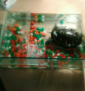 Красноухая черепаха 🐢