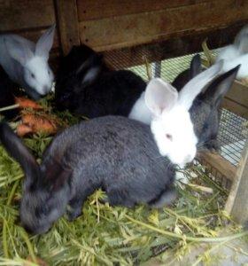 Кролики виликан с калифорнийской. 2 месяца
