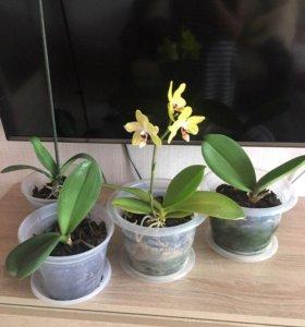 Орхидеи,возможен обмен