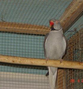 Попугаи ожереловые