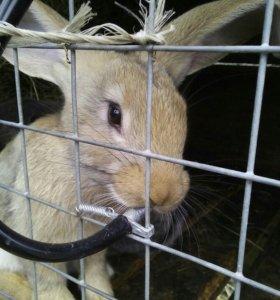 Кролики от 3х мес крупных пород