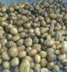 Свежий картофель сортовой
