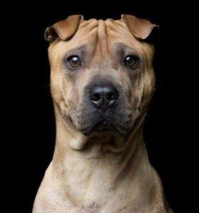 Шарпей в дар, метис шарпея, собака, пес в дар