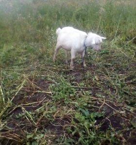 Зааменский козел