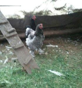 Цыплята, курицы