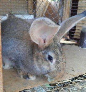 Кролики крупных пород.