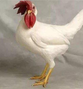 Куры на яйце