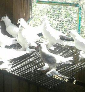Черно-хвостые голуби