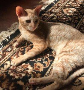Вязка кошек породы Корниш Рекс