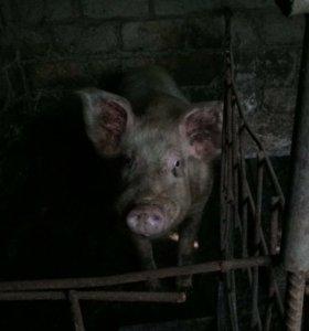 Продаю свиньей