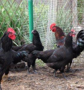 Инкубационные яйца кур породы Синь - Синь - Дянь.