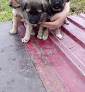Крепкие щенки