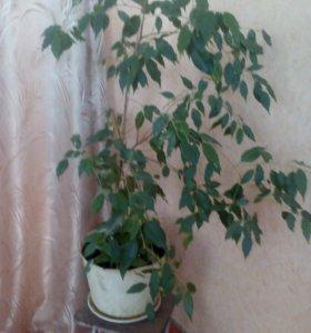 Комнатное растение-Фикус
