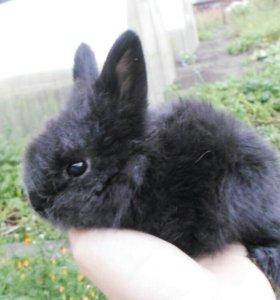 Продам домашнего декоративного карликова кролика