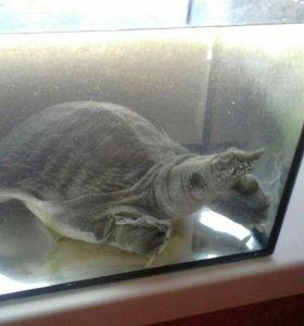 Черепаха (речная) дальневосточная