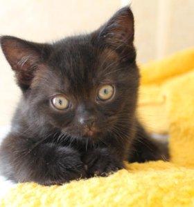 Британские шоколадные котята