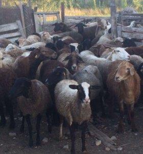 Бараны и овцы опт розница