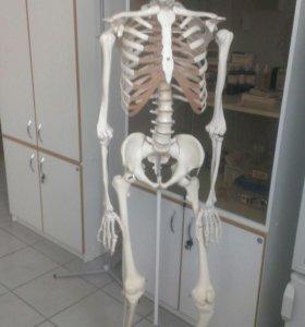 Скелет человека школьный