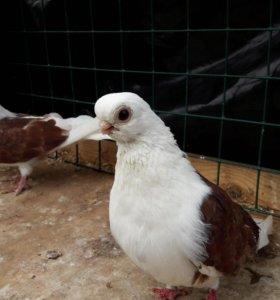 Голуби чайка мичуринская